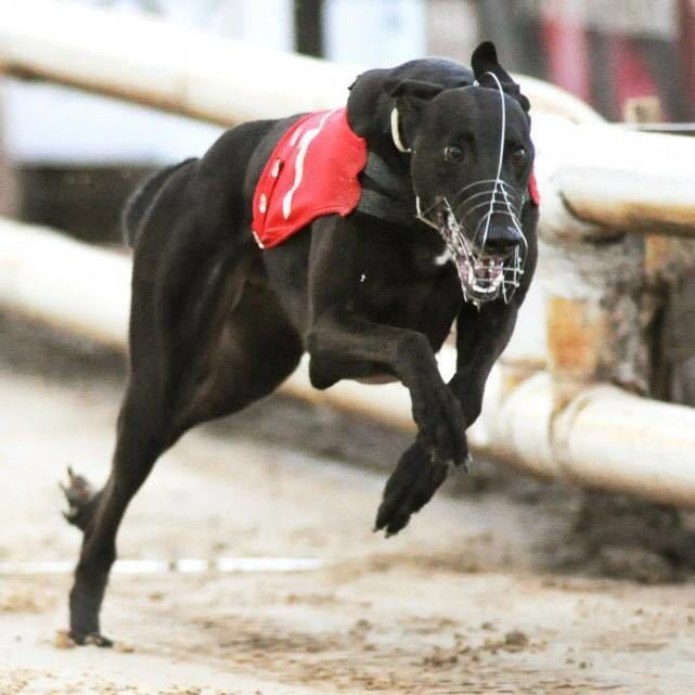 Absolute work with GBGB to deliver Flagship Apprenticeship Scheme for Greyhound Racing